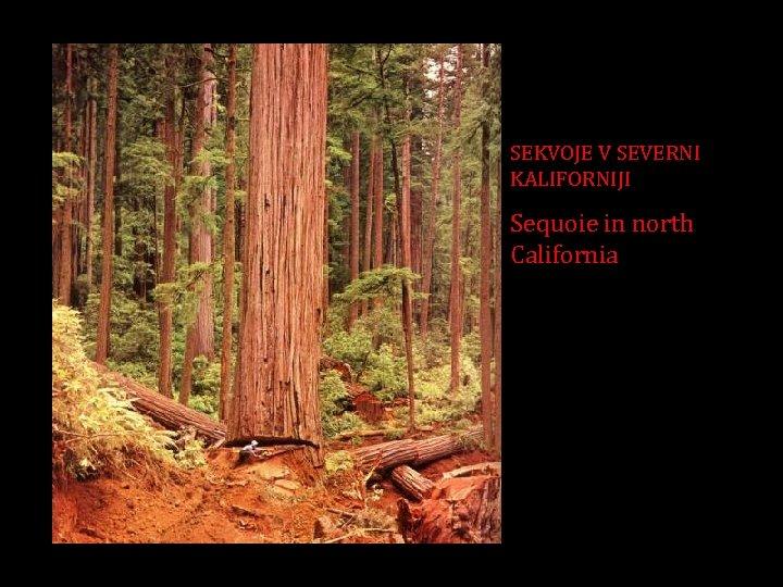 SEKVOJE V SEVERNI KALIFORNIJI Sequoie in north California