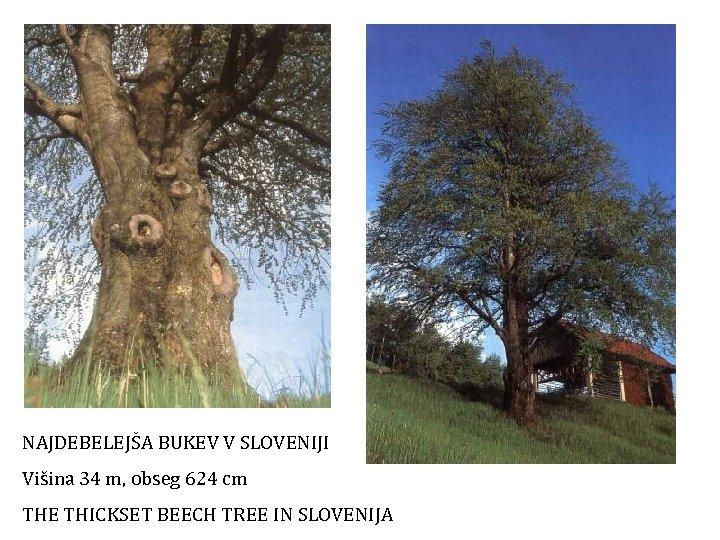 NAJDEBELEJŠA BUKEV V SLOVENIJI Višina 34 m, obseg 624 cm THE THICKSET BEECH TREE