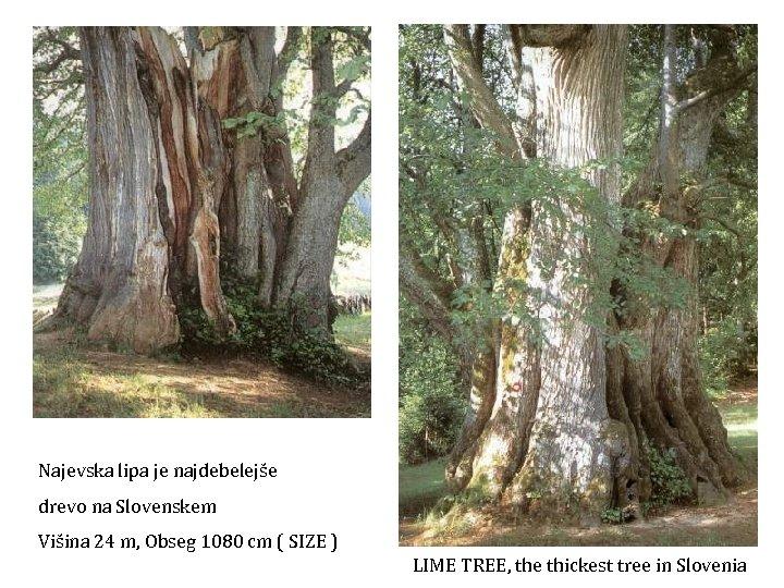 Najevska lipa je najdebelejše drevo na Slovenskem Višina 24 m, Obseg 1080 cm (
