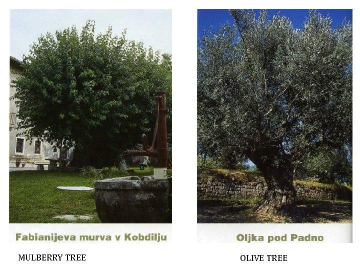MULBERRY TREE OLIVE TREE