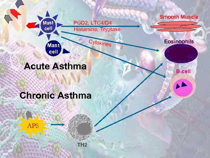 Mast cell PGD 2, LTC 4/D 4 Histamine, Tryptase Cytokin es Mast cell Acute