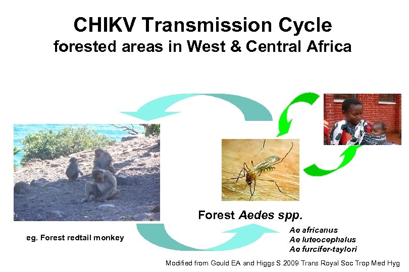CHIKV Transmission Cycle forested areas in West & Central Africa Forest Aedes spp. eg.