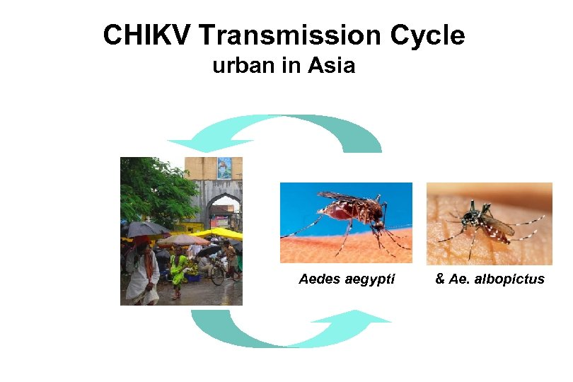 CHIKV Transmission Cycle urban in Asia Aedes aegypti & Ae. albopictus