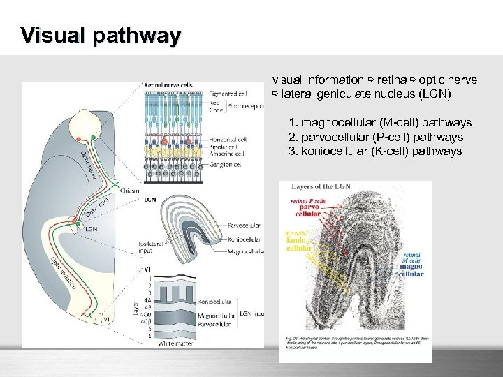 Visual pathway visual information ⇨ retina ⇨ optic nerve ⇨ lateral geniculate nucleus (LGN)