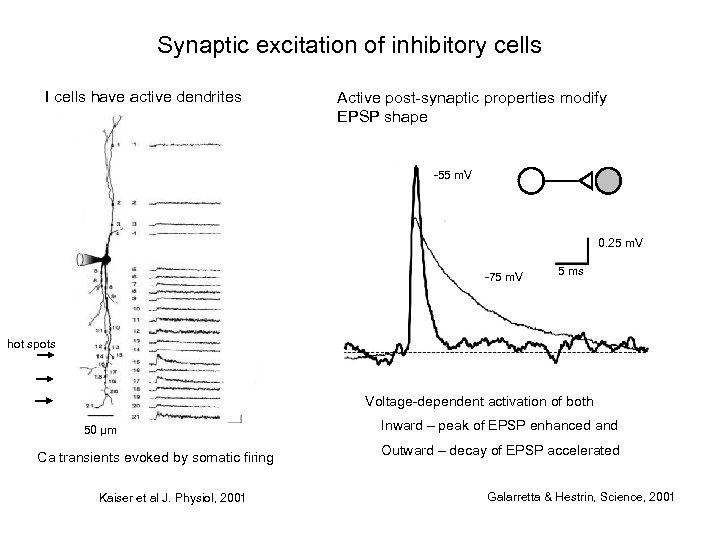 Synaptic excitation of inhibitory cells I cells have active dendrites Active post-synaptic properties modify