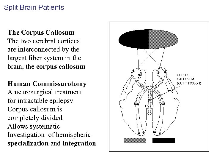 Split Brain Patients The Corpus Callosum The two cerebral cortices are interconnected by the