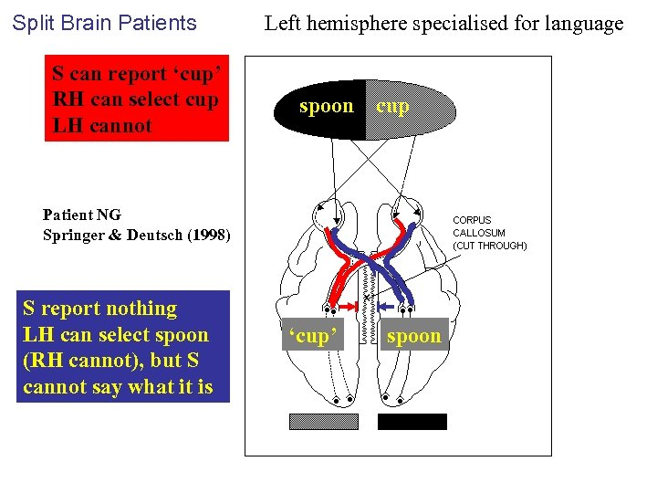 Split Brain Patients S can report 'cup' RH can select cup LH cannot Left
