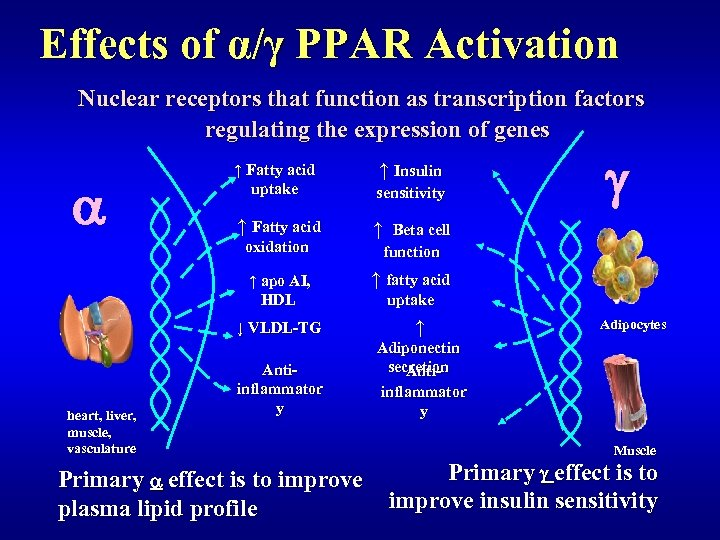 Effects of α/γ PPAR Activation Nuclear receptors that function as transcription factors regulating the