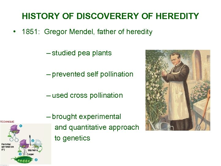 HISTORY OF DISCOVERERY OF HEREDITY • 1851: Gregor Mendel, father of heredity – studied