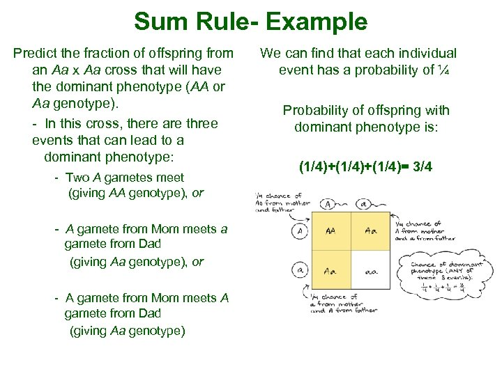 Sum Rule- Example Predict the fraction of offspring from an Aa x Aa cross