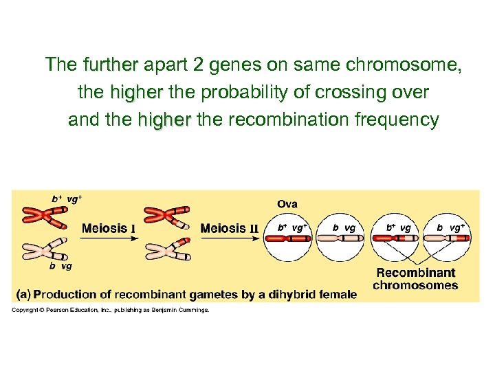 The further apart 2 genes on same chromosome, further the higher the probability of