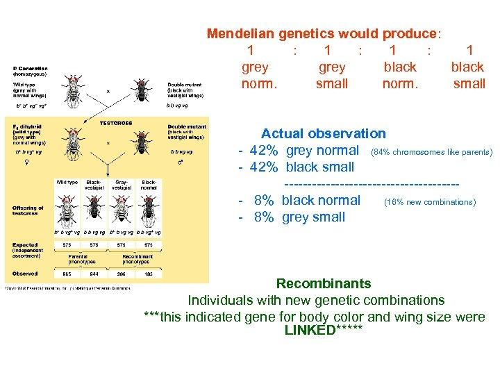 Mendelian genetics would produce: 1 : 1 : 1 grey black norm. small
