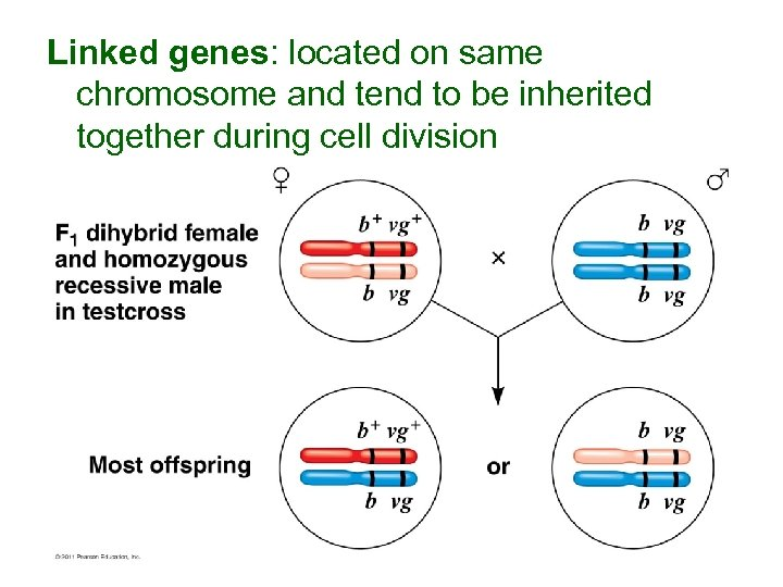 Linked genes: located on same chromosome and tend to be inherited together during cell