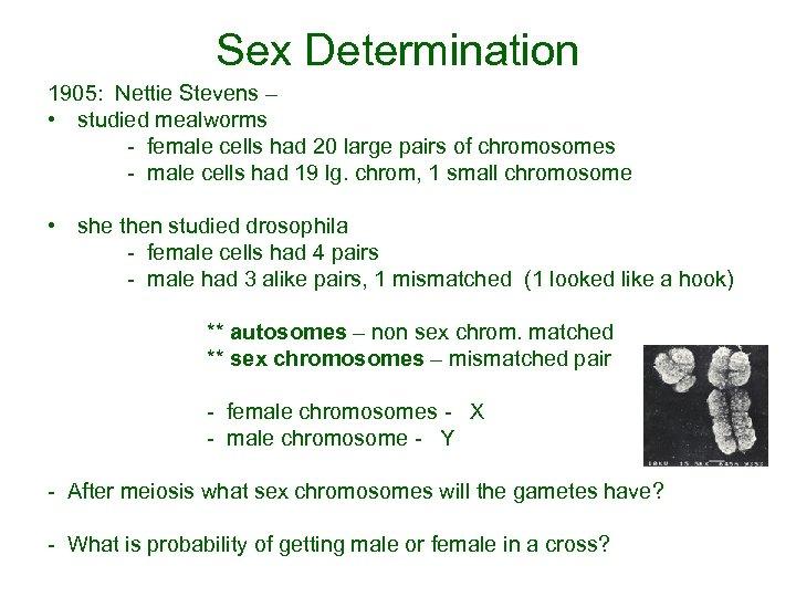Sex Determination 1905: Nettie Stevens – • studied mealworms - female cells had 20