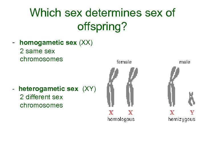 Which sex determines sex of offspring? - homogametic sex (XX) 2 same sex chromosomes