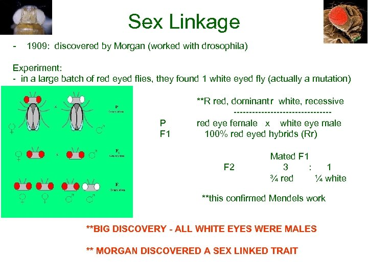 Sex Linkage - 1909: discovered by Morgan (worked with drosophila) Experiment: - in a
