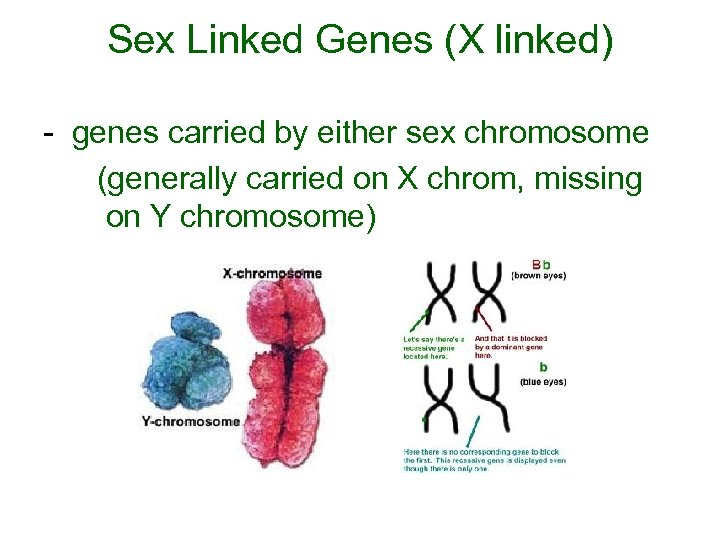 Sex Linked Genes (X linked) - genes carried by either sex chromosome (generally carried