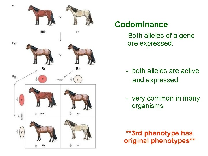 Codominance Both alleles of a gene are expressed. - both alleles are active