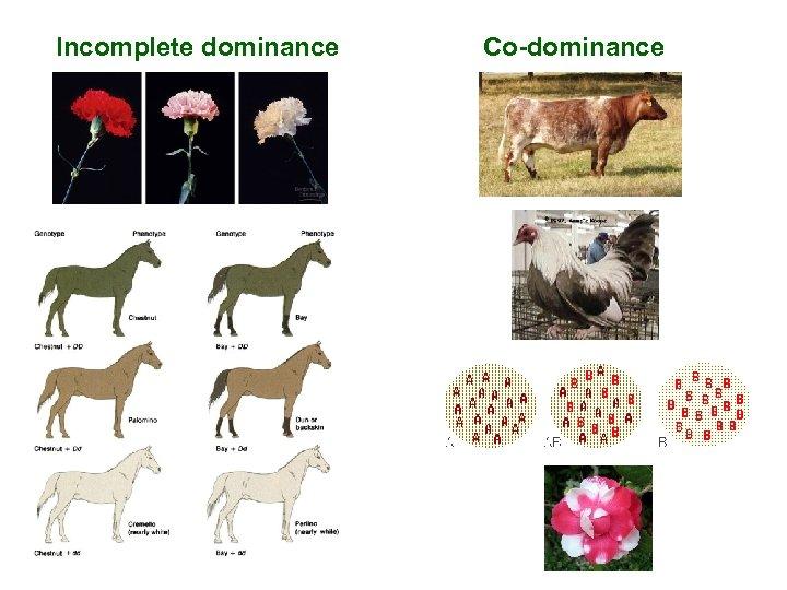 Incomplete dominance Co-dominance