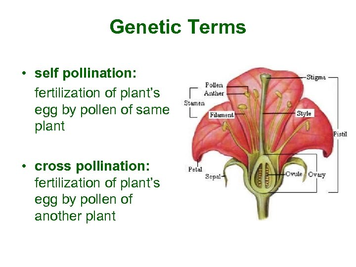 Genetic Terms • self pollination: fertilization of plant's egg by pollen of same plant