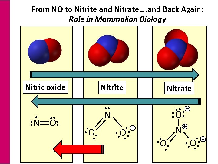 From NO to Nitrite and Nitrate…. and Back Again: Role in Mammalian Biology Nitrite