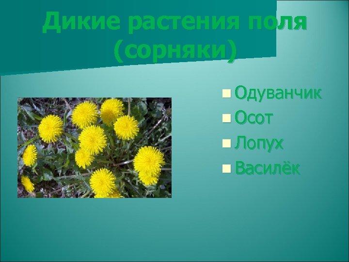 Дикие растения поля (сорняки) n Одуванчик n Осот n Лопух n Василёк