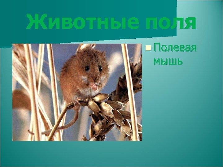 Животные поля n Полевая мышь