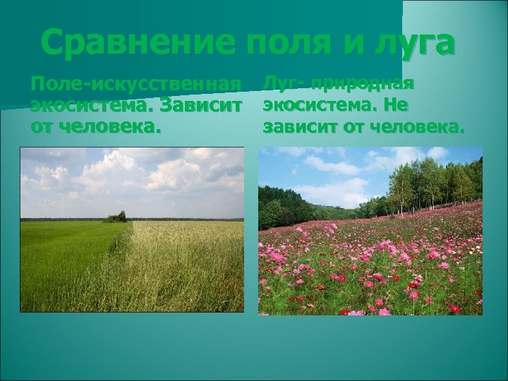 Сравнение поля и луга Поле-искусственная экосистема. Зависит от человека. Луг- природная экосистема. Не зависит
