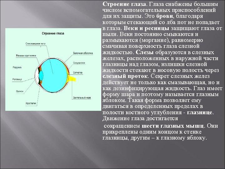 Строение глаза. Глаза снабжены большим числом вспомогательных приспособлений для их защиты. Это брови, благодаря
