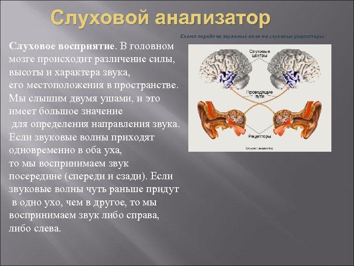 Слуховой анализатор Схема передачи звуковых волн на слуховые рецепторы Слуховое восприятие. В головном мозге