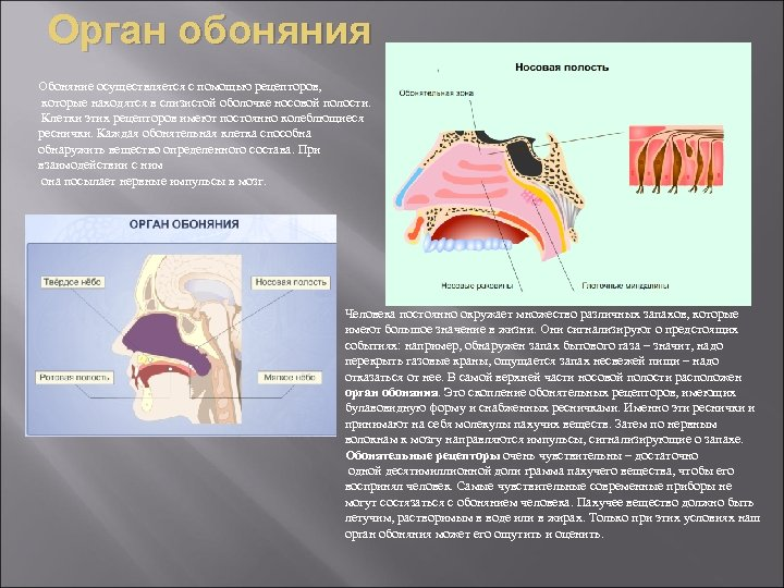Орган обоняния Обоняние осуществляется с помощью рецепторов, которые находятся в слизистой оболочке носовой полости.