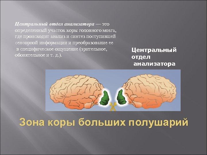 Центральный отдел анализатора — это определенный участок коры головного мозга, где происходит анализ и