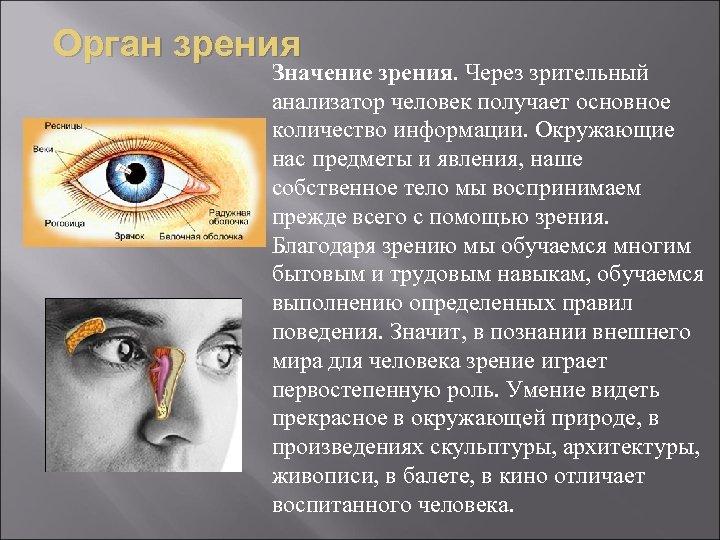 Орган зрения Значение зрения. Через зрительный анализатор человек получает основное количество информации. Окружающие нас