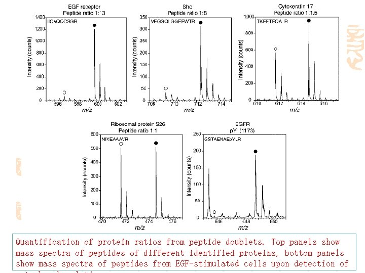 Quantification of protein ratios from peptide doublets. Top panels show mass spectra of peptides