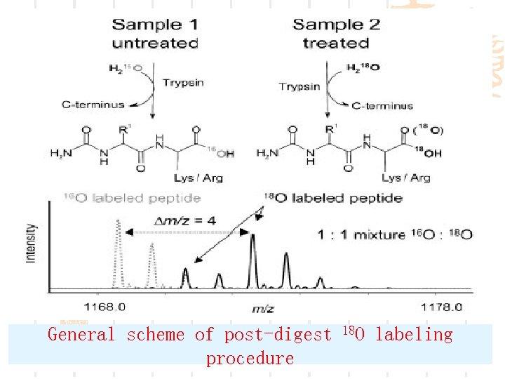 General scheme of post-digest procedure 18 O labeling