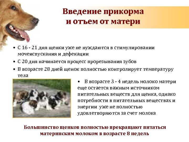 Введение прикорма и отъем от матери • С 16 - 21 дня щенки уже