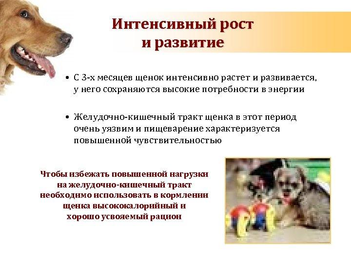 Интенсивный рост и развитие • С 3 -х месяцев щенок интенсивно растет и развивается,
