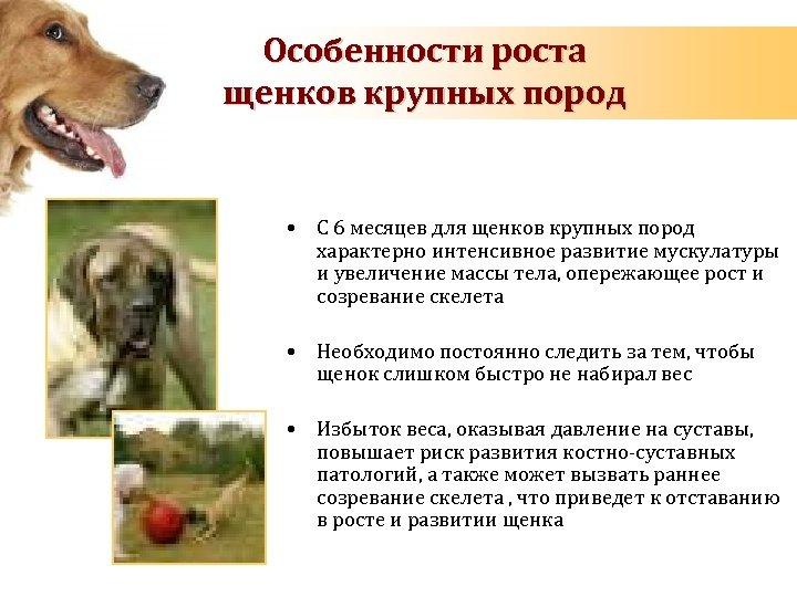 Особенности роста щенков крупных пород • С 6 месяцев для щенков крупных пород характерно
