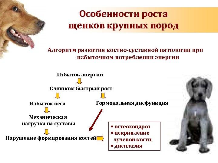 Особенности роста щенков крупных пород Алгоритм развития костно-суставной патологии при избыточном потреблении энергии Избыток