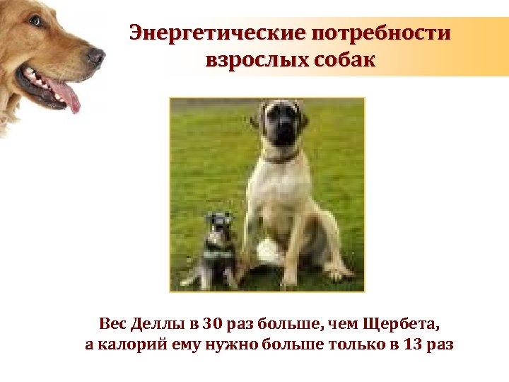Энергетические потребности взрослых собак Вес Деллы в 30 раз больше, чем Щербета, а калорий