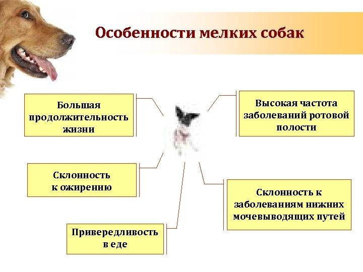 Особенности мелких собак Большая продолжительность жизни Склонность к ожирению Привередливость в еде Высокая частота