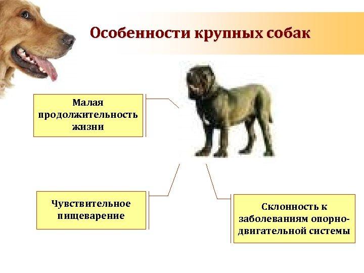 Особенности крупных собак Малая продолжительность жизни Чувствительное пищеварение Склонность к заболеваниям опорнодвигательной системы