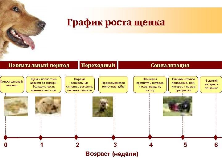 График роста щенка Неонатальный период Колостральный иммунит 0 Щенки полностью зависят от матери. Большую