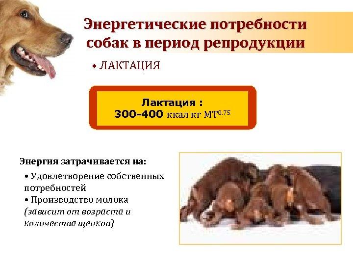 Energy requirements of dog Энергетические потребности during pregnancy and lactation собак в период репродукции