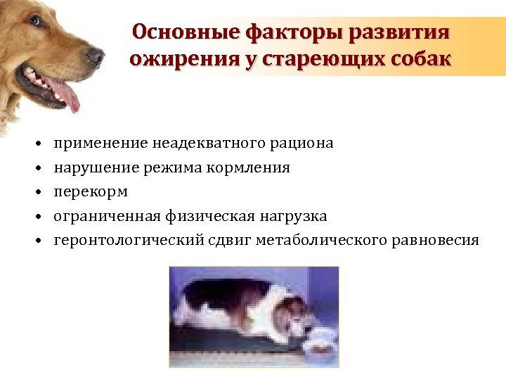 Основные факторы развития ожирения у стареющих собак • • • применение неадекватного рациона нарушение