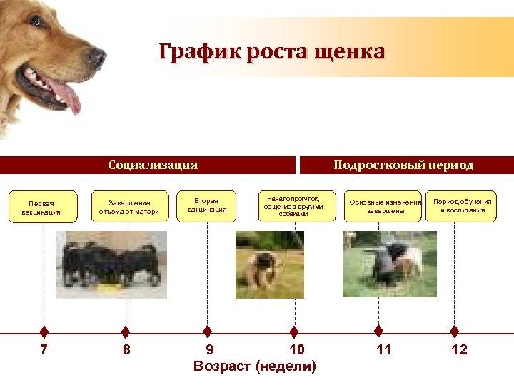 График роста щенка Социализация Первая вакцинация 7 Завершение отъема от матери 8 Вторая вакцинация