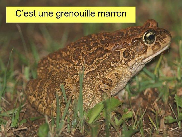 C'est une grenouille marron