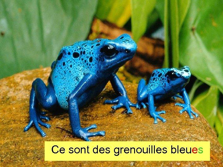 Ce sont des grenouilles bleues