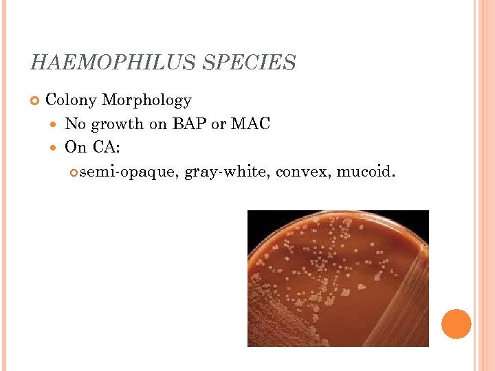 HAEMOPHILUS SPECIES Colony Morphology No growth on BAP or MAC On CA: semi-opaque, gray-white,