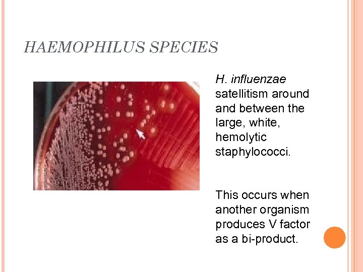 HAEMOPHILUS SPECIES H. influenzae satellitism around and between the large, white, hemolytic staphylococci. This